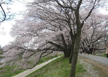 堤道桜.jpg