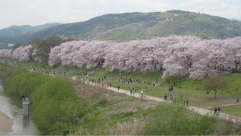 木津川桜.jpg
