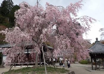 吉峰1本桜.JPG